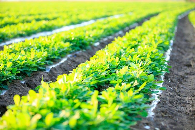 Rows of peanut crops.