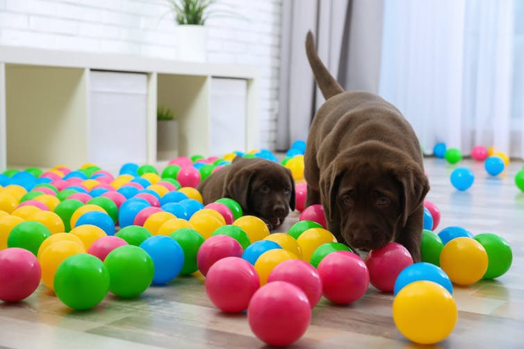 Chocolate lab puppies playing with balls