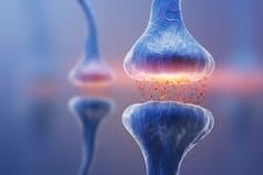 Synapse neurotransmitter release