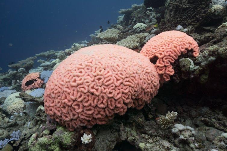 Due tumuli di corallo rosa brillante