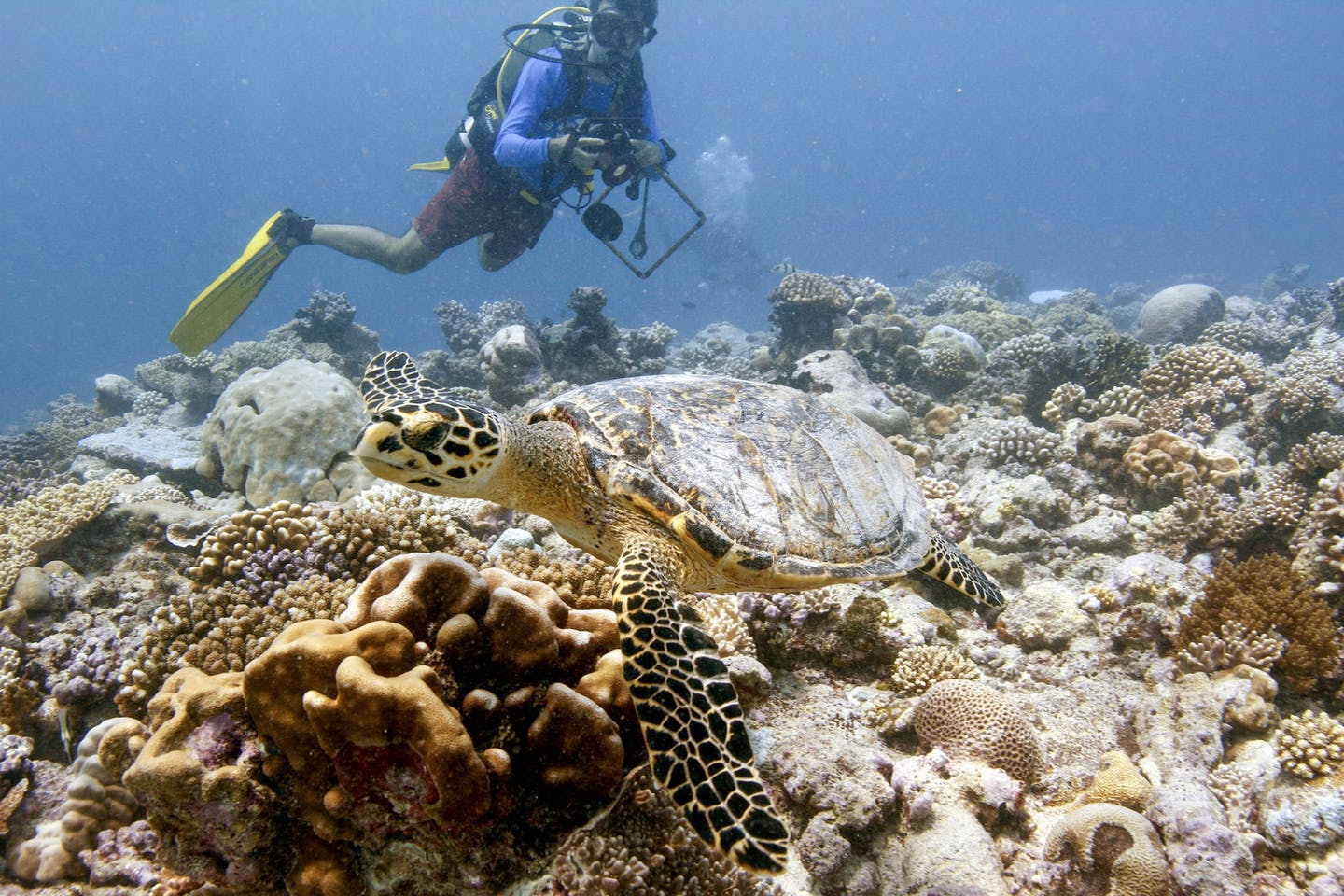 Diver with large sea turtle swimming over corals.