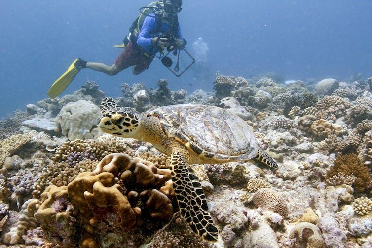 Buceador con una gran tortuga marina nadando sobre arrecifes de coral.