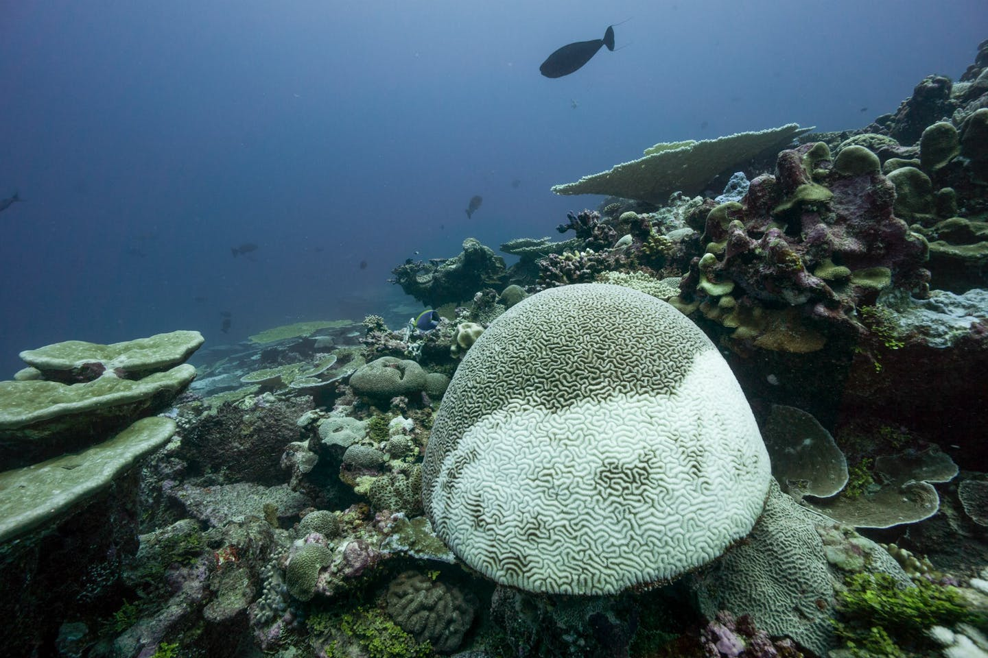 A large mushroom-shaped coral structure, half of it turned white from bleaching