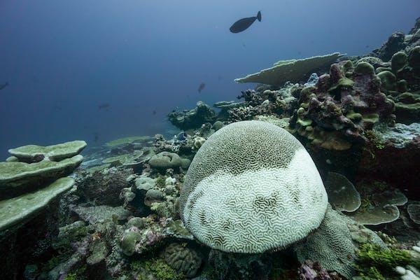 Corais começando a branquear no arquipélago de Chagos. Fundação dos oceanos vivos de Phil Renaud / Khaled bin Sultan / The Conversation