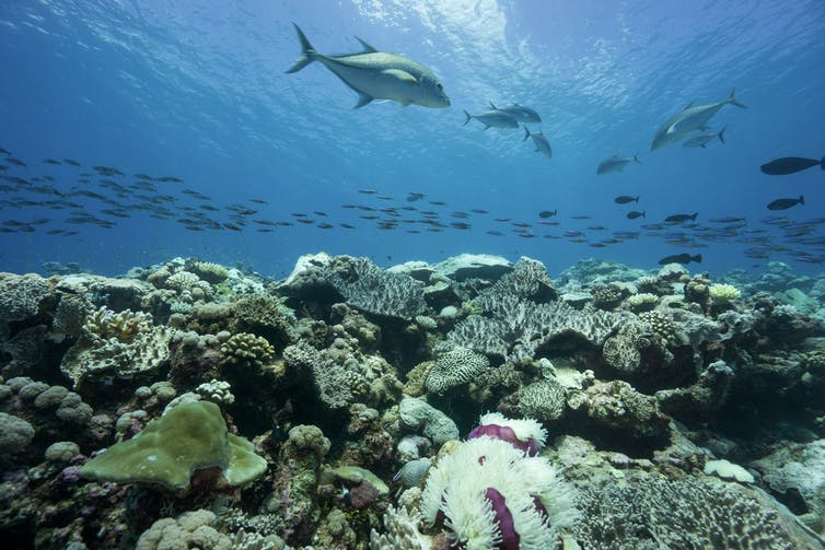Large fish and schools of fish swimming above the reef