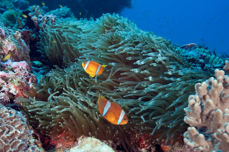 Two bright orange fish with white bands swim past an anemone