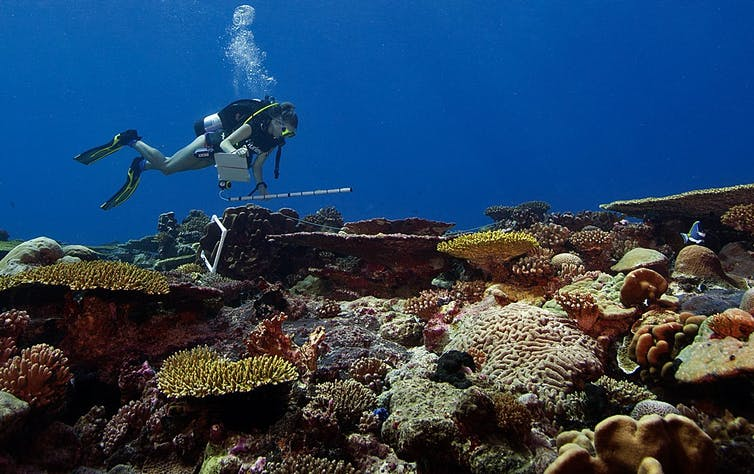 A diver carries a plastic pipe for measuring while swimming over a variety of corals
