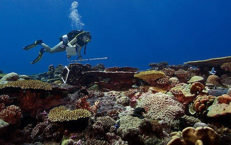 Um mergulhador carrega um tubo de plástico para medir enquanto nada sobre uma variedade de corais