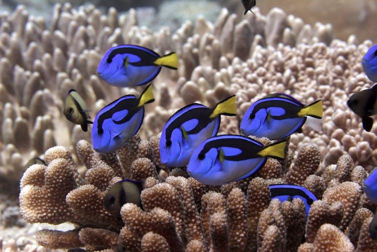 Brilliant blue fish swim in a coral reef