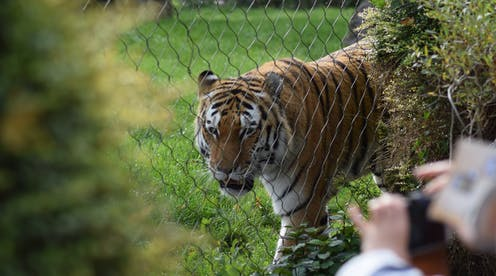 A tiger behind a chain-link fence as someone takes a photo.