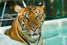 A captive tiger sits by a pool.
