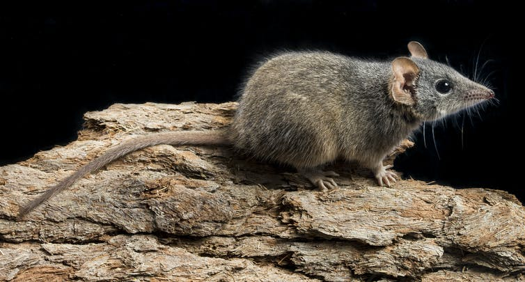 Profile of the silver-headed antechinus