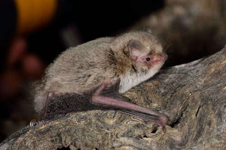 Profile of the little forest-bat