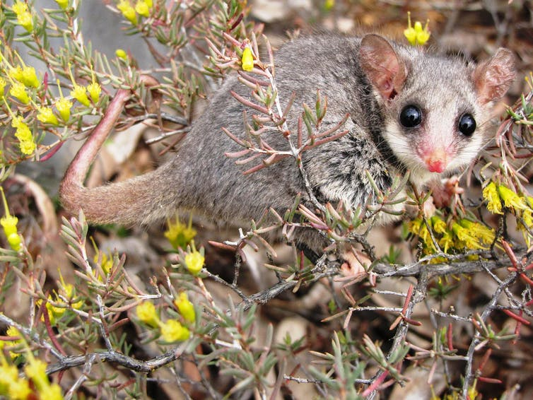 Mountain pygmy possum in bush