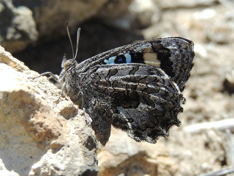 Grey butterfly on a rock