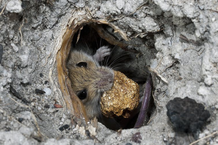 Eastern pebble mouse with a pebble in its mouth
