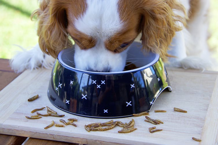 Dog eating from bowl with insects around it