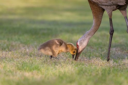 Large grey bird with small yellow chick
