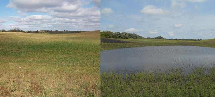 Low-lying zone of a farm field before and after conversion to a wetland.