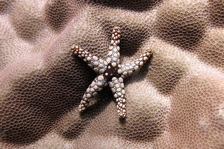 Noduled sea stars are among the reef's diverse species.