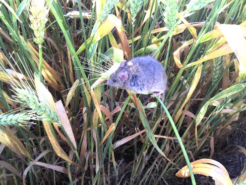 A mouse sitting on crops