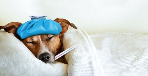 Dog with ice pack and thermometer laying in bed