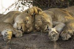 Two lions, sleeping head-to-head.