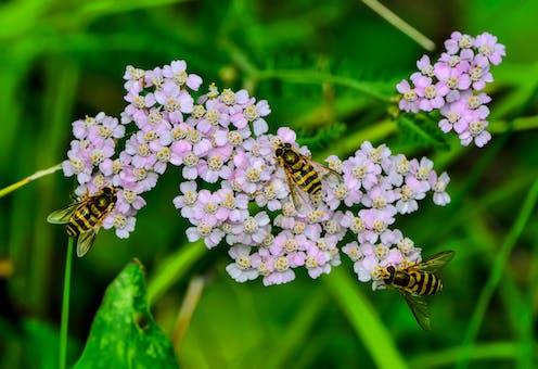 Three hoverflies on flowers