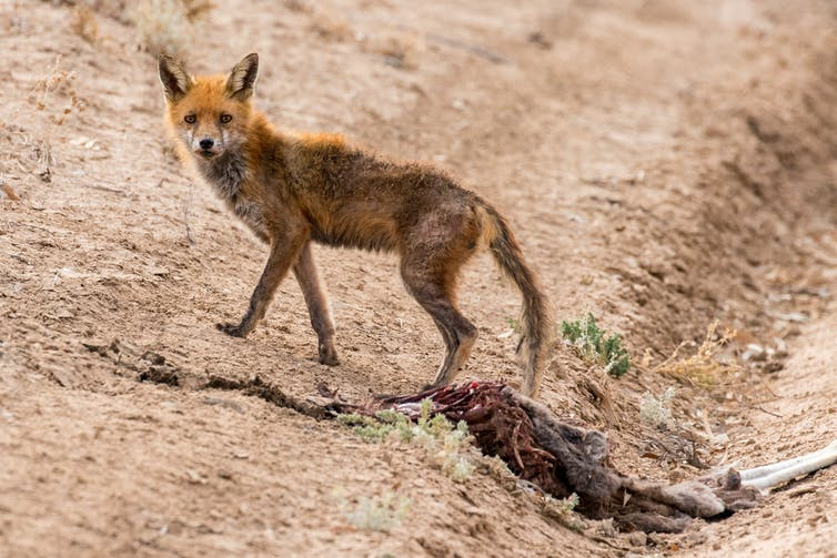 fox with dead animal
