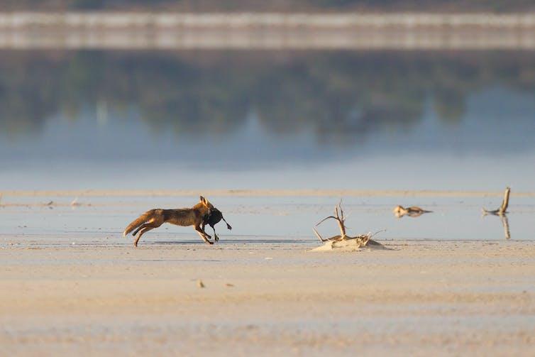 fox killing turtle on beach