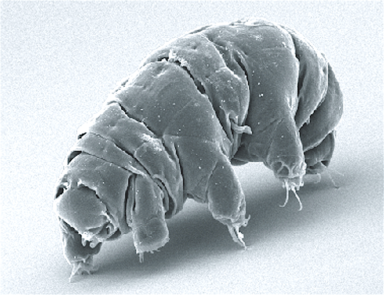 An electron microscope image of a tardigrade.