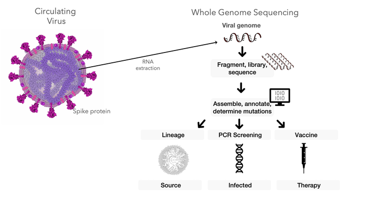 diagram of how scientists can use genetic sequence data from coronavirus