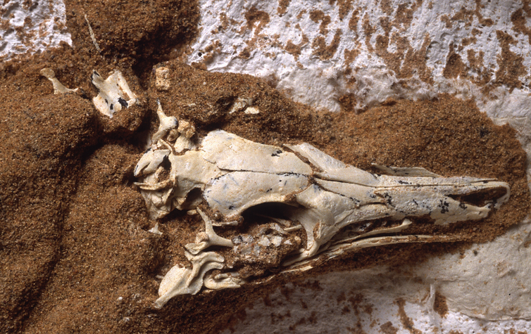 A close up photo of the skull of _S. deserti_ showing a large eye socket.