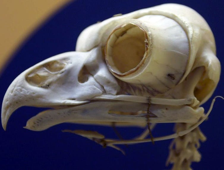An owl skull with a cone like ring attached to the eye socket.