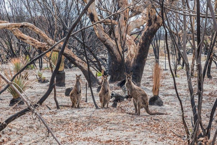 Three kangaroos in burnt, regenerating forest