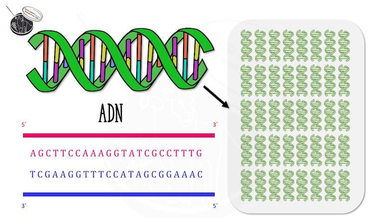 Esquema representativo de un fragmento de ADN copiado mediante PCR