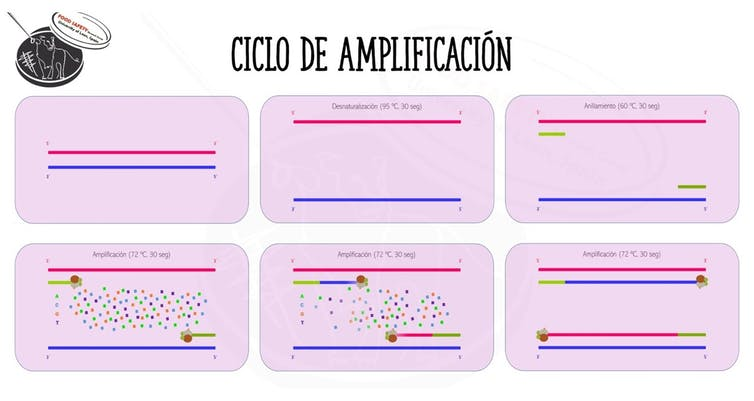 Esquema de la reacción de la PCR