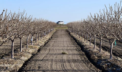 Fruit trees in California's Central Valley, where wells are starting to run dry
