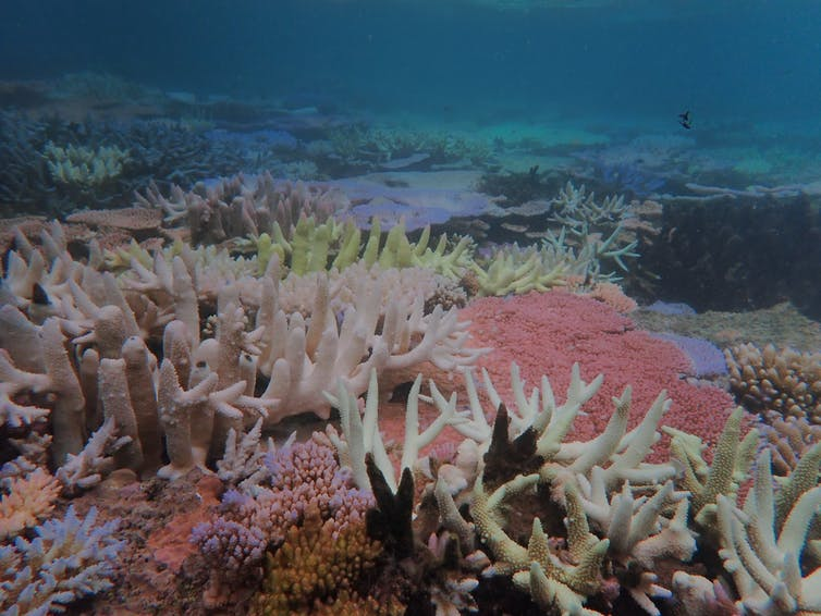 Bleaching at the Great Barrier Reef