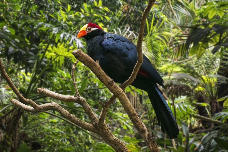 A violet turaco / violaceous plantain eater perched on a tree branch with lush green plants in the background. The bird is native to West Africa.