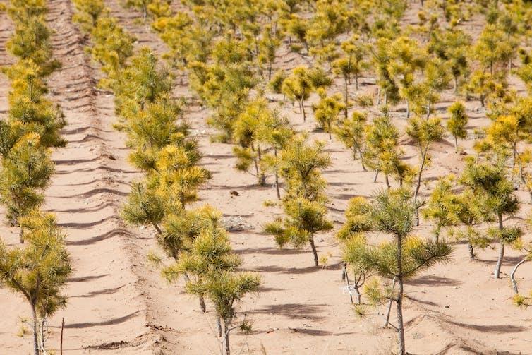Tree plantation in desert