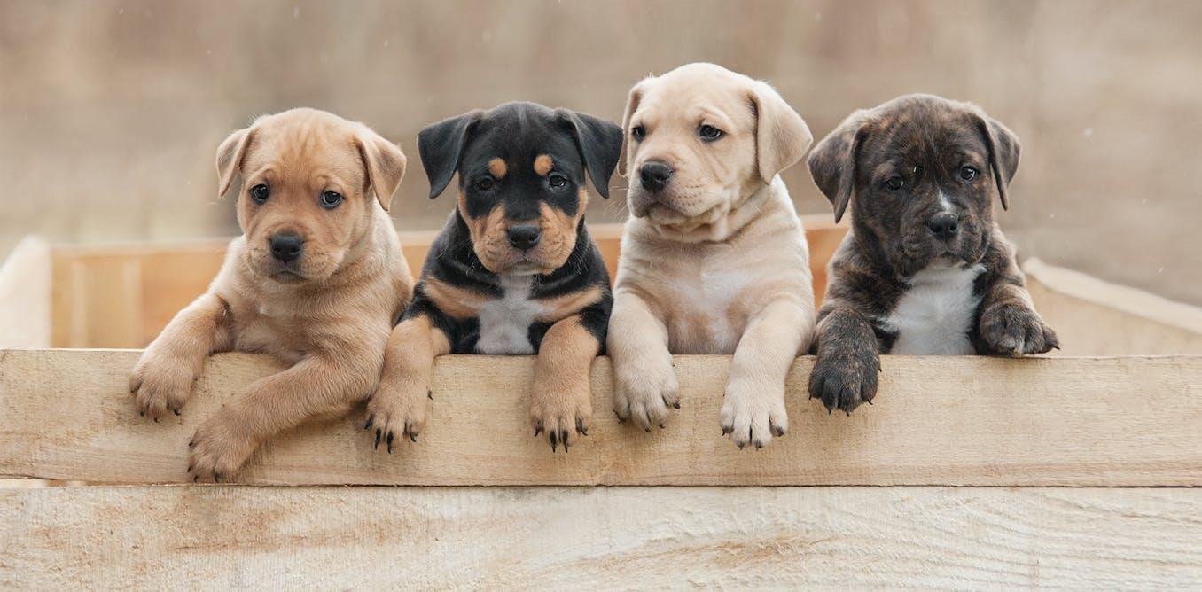 Alors que la pandémie s'éternise, l'envie d'adopter un chiot ne fait que croître.           Shutterstock