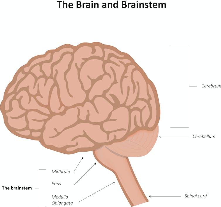 The brain and brain stem