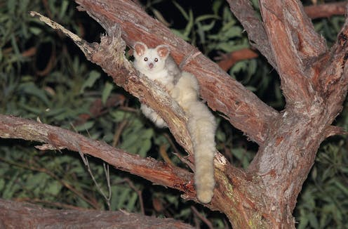 A white greater glider on a branch