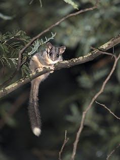 Leadbeater's possum on a branch