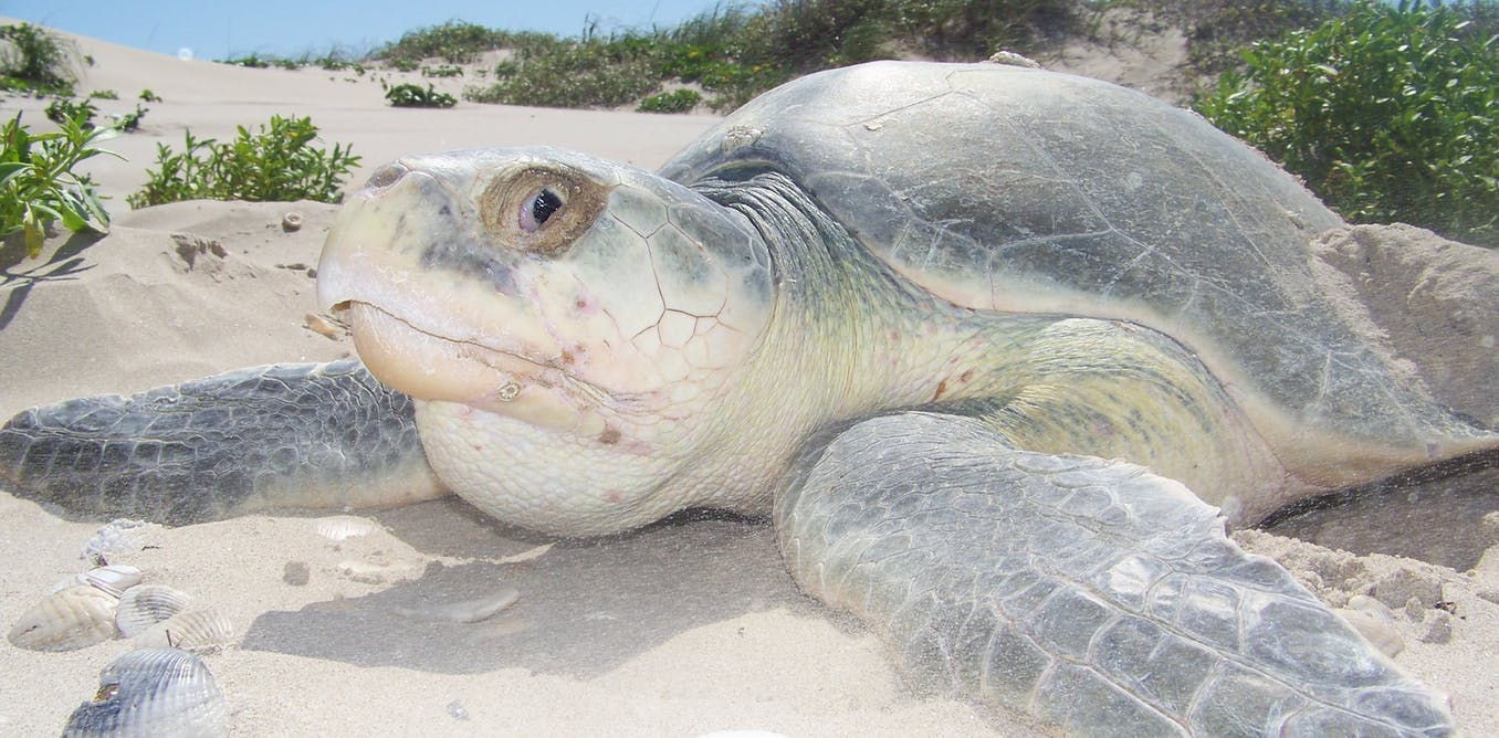 Scientists at work: Helping endangered sea turtles, one emergency surgery at a time
