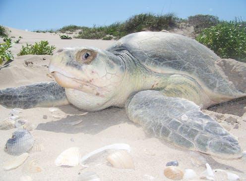 A large sea turtle on a sandy beach.