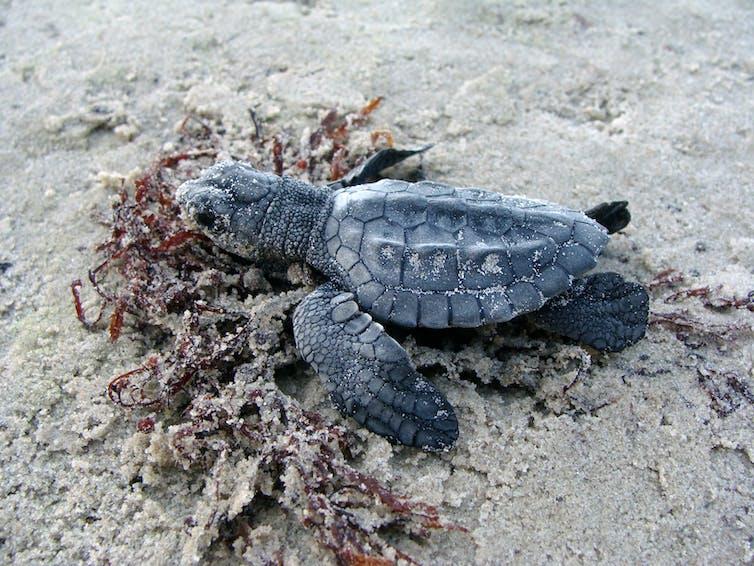 A tiny newborn sea turtle on the sand.