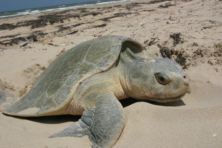 A female sea turtle digging a nest.