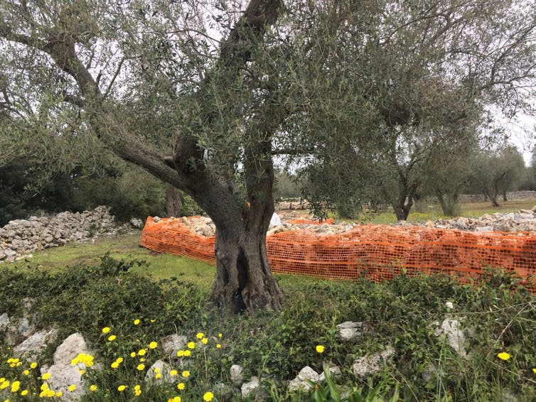 A tree surrounded by orange fence
